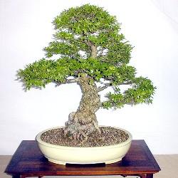 дерево бонсай купить