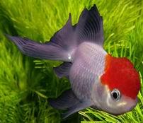 аквариум золотая рыбка